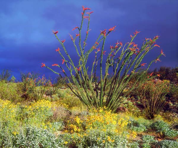 Ocotillo Wall Art - Photograph - Usa, California, Anza-borrego Desert by Jaynes Gallery