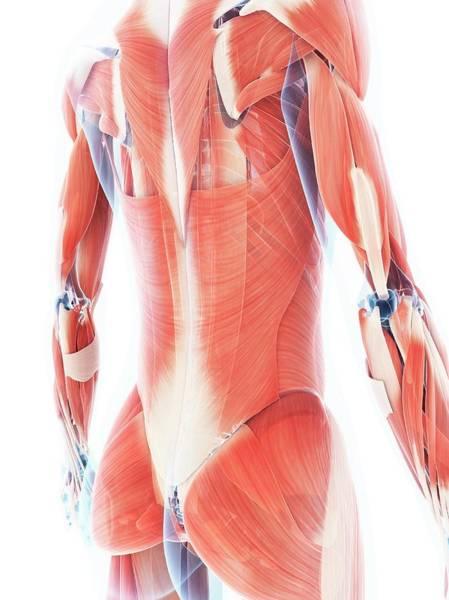 Wall Art - Photograph - Female Muscular System by Sebastian Kaulitzki
