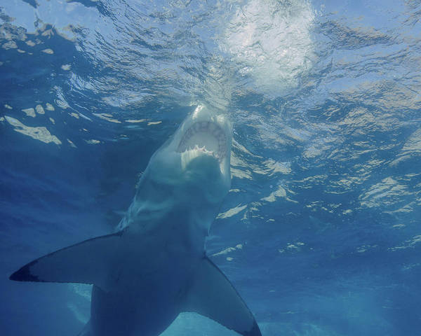 Wall Art - Photograph - A Great White Shark At Guadalupe by Brent Barnes