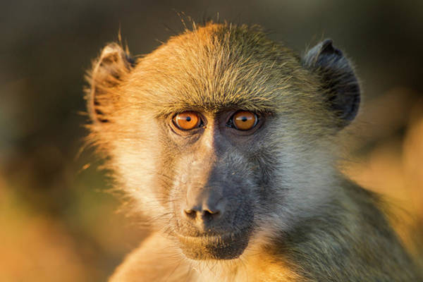 Baboons Photograph - Africa, Botswana, Chobe National Park by Paul Souders