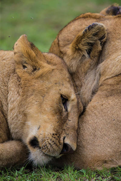 Wall Art - Photograph - Africa Tanzania African Lions At Ndutu by Ralph H. Bendjebar