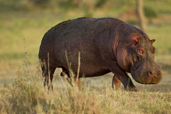 Hippopotamus Amphibius Wall Art - Photograph - Africa, Tanzania, Serengeti National by Joe and Mary Ann Mcdonald