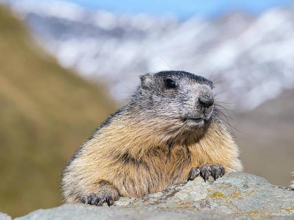 Marmot Photograph - Alpine Marmot (marmota Marmota by Martin Zwick