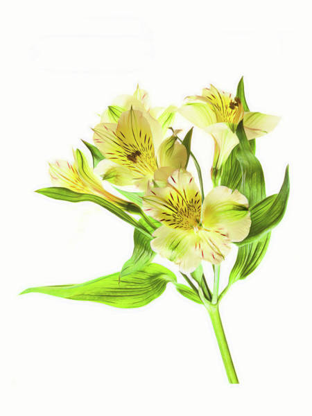 Alstroemeria Photograph - Alstroemeria Flowers Against White by Panoramic Images