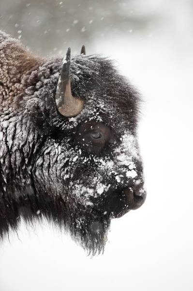 Wall Art - Photograph - American Bison by Dr P. Marazzi/science Photo Library