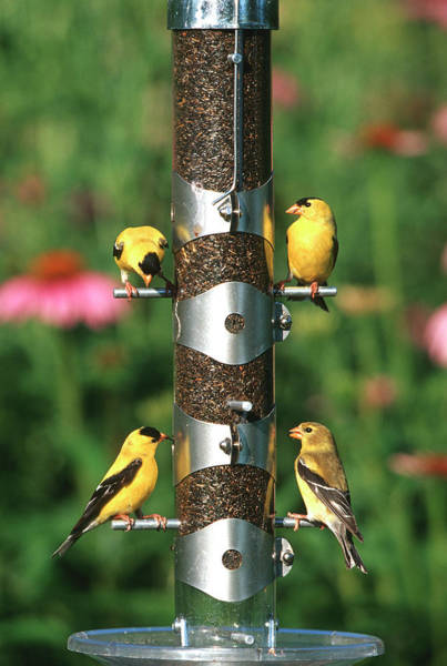 Goldfinch Photograph - American Goldfinches (carduelis Tristis by Richard and Susan Day