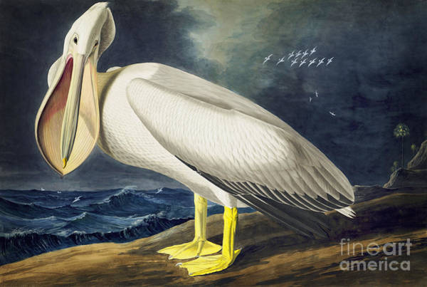 Drawing - American White Pelican by Celestial Images