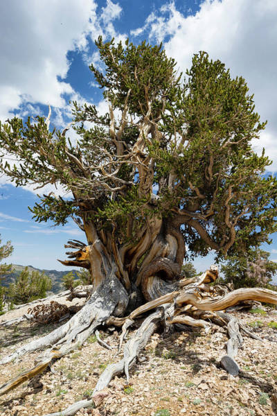 Inyo Mountains Photograph - Ancient Bristlecone Pine Forest by Panoramic Images