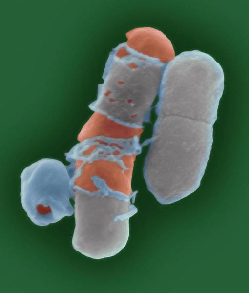 Wall Art - Photograph - Antibiotic Treatment On Bacteria by Dennis Kunkel Microscopy/science Photo Library
