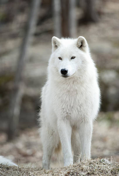 Photograph - Arctic Wolf Adult by Wolves Only