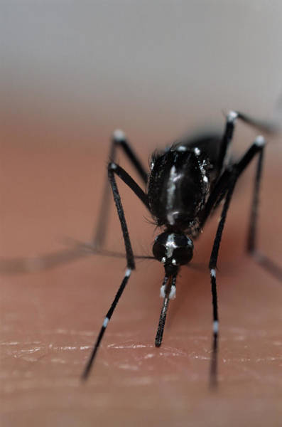 Wall Art - Photograph - Asian Tiger Mosquito by Sinclair Stammers/science Photo Library