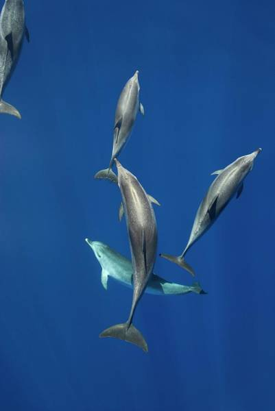 Behaviour Photograph - Atlantic Spotted Dolphins by Christopher Swann/science Photo Library