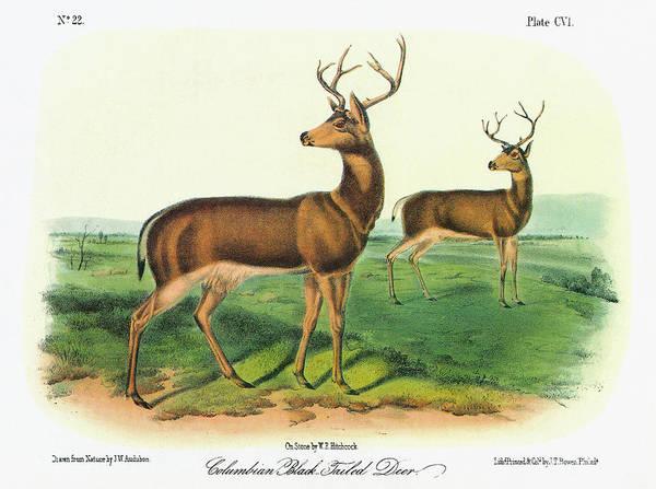 Black Buck Painting - Audubon Deer by Granger