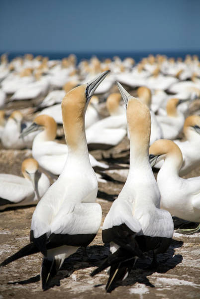 Mating Ritual Photograph - Australasian Gannets by David Taylor/science Photo Library