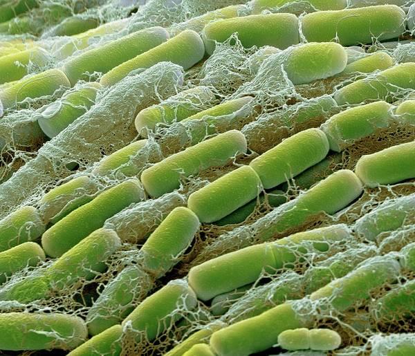 Saprophytic Wall Art - Photograph - Bacillus Megaterium Bacteria by Steve Gschmeissner