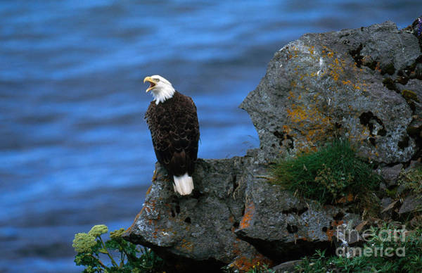 Falconiformes Photograph - Bald Eagle by Art Wolfe