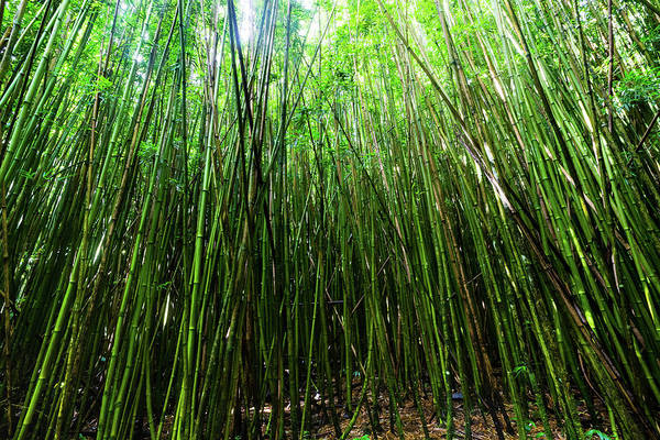 Bamboo Photograph - Bamboo Trees, Maui, Hawaii, Usa by Panoramic Images