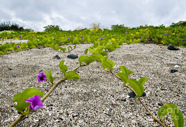 Convolvulaceae Wall Art - Photograph - Beach Morning Glory by William H. Mullins