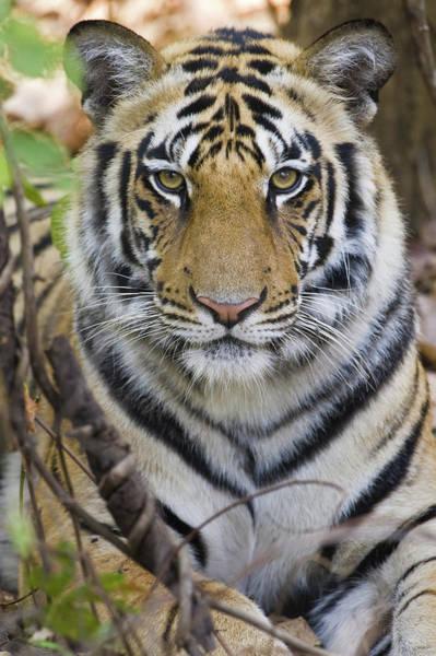 Wall Art - Photograph - Bengal Tiger Panthera Tigris Tigris by Animal Images