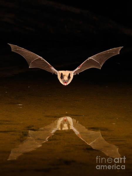 Photograph - Big Brown Bat by Scott Linstead