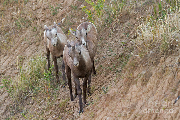 Photograph - Big Horn Sheep by Fred Stearns