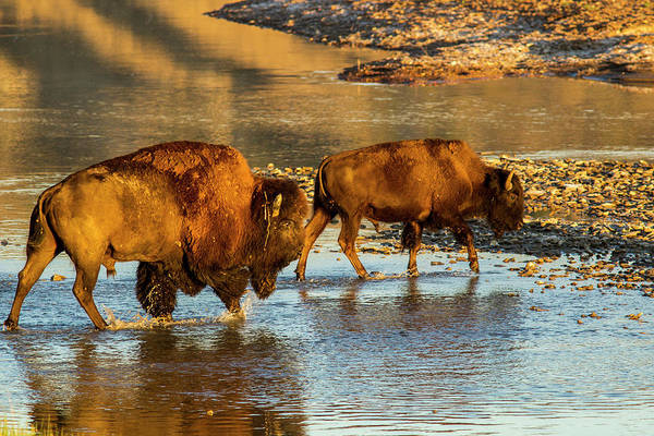 North Dakota Photograph - Bison Crossing The Little Missouri by Chuck Haney