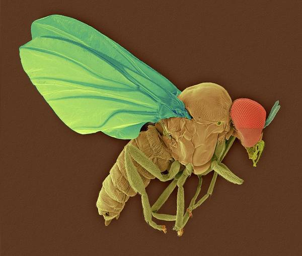 Wall Art - Photograph - Black Fly Adult Male by Dennis Kunkel Microscopy/science Photo Library