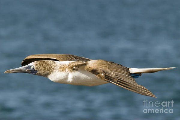 Blue Footed Booby Wall Art - Photograph - Blue-footed Booby by William H. Mullins