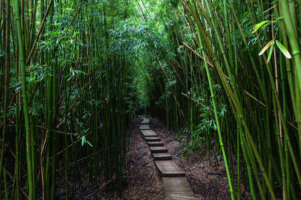 Bamboo Photograph - Boardwalk Passing Through Bamboo Trees by Panoramic Images
