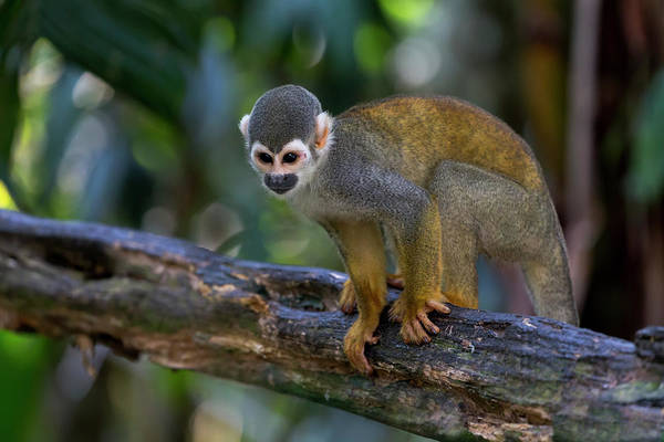 Leaf Monkey Wall Art - Photograph - Brazil, Amazon, Manaus, Amazon Ecopark by Ellen Goff