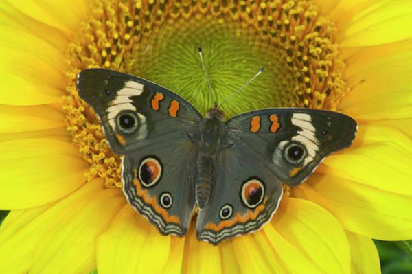Buckeye Butterfly Wall Art - Photograph - Buckeye Butterfly by Darrell Gulin