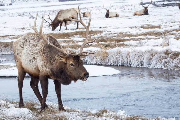 Photograph - Bull Elk by Michael Chatt