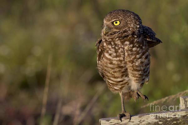 Photograph - Burrowing Owl Photo by Meg Rousher