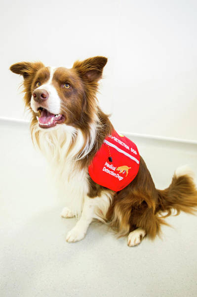 Collie Photograph - Cancer Detection Dog Training by Louise Murray