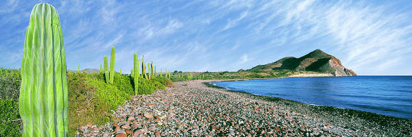 Sea Of Cortez Photograph - Cardon Cactus Pachycereus Pringlei by Panoramic Images