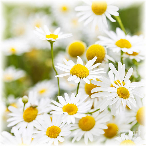 Wall Art - Photograph - Chamomile Flowers by Elena Elisseeva