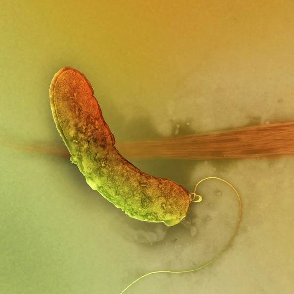 Wall Art - Photograph - Cholera Bacterium by Ami Images/science Photo Library