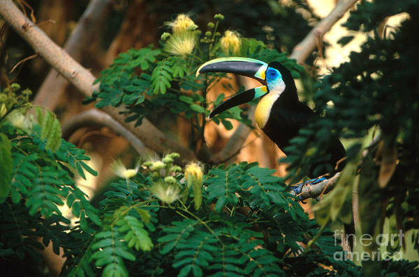 Ramphastidae Photograph - Citron-throated Toucan by Art Wolfe
