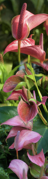 Wall Art - Photograph - Close-up Of Anthurium Plant by Panoramic Images