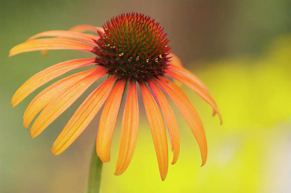 Wall Art - Photograph - Coneflower (echinacea Purpurea) by Maria Mosolova/science Photo Library