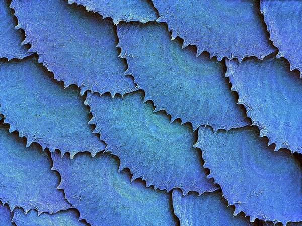Fish Scales Photograph - Convict Cichlid Fish Scales by Dennis Kunkel Microscopy/science Photo Library
