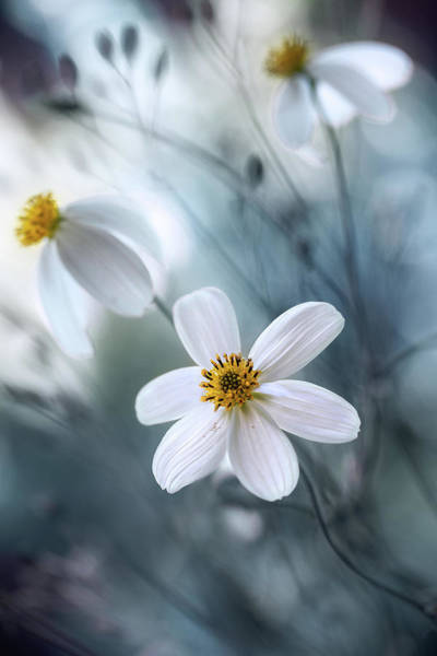 Bokeh Wall Art - Photograph - Cosmos by Mandy Disher