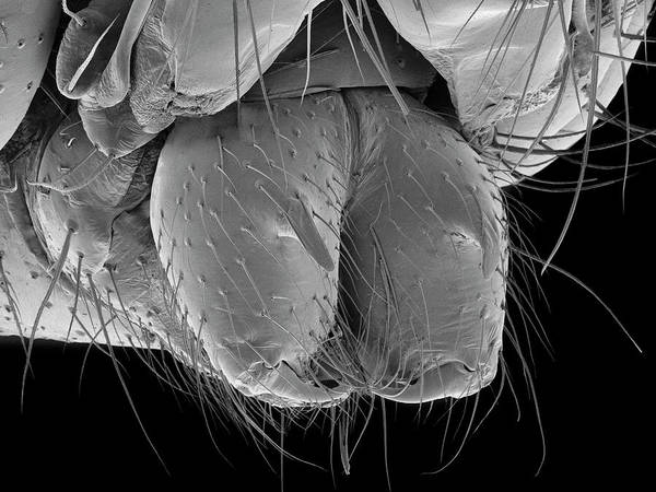 Wall Art - Photograph - Daddy Longlegs Spider Fangs by Dennis Kunkel Microscopy/science Photo Library