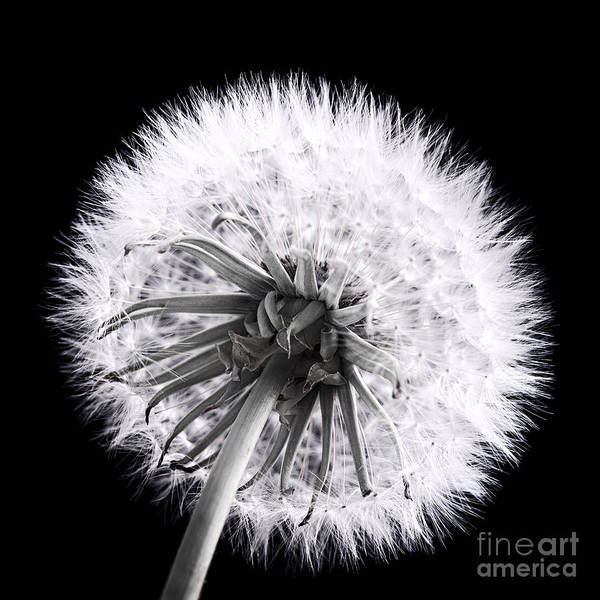 Seed Head Wall Art - Photograph - Dandelion by Elena Elisseeva