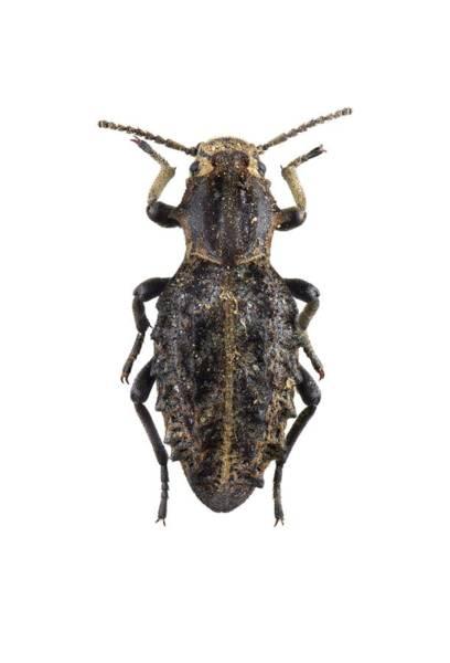 Arthropods Wall Art - Photograph - Darkling Beetle by F. Martinez Clavel