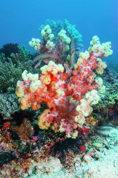 Wall Art - Photograph - Dendronephthya Soft Coral by Georgette Douwma/science Photo Library