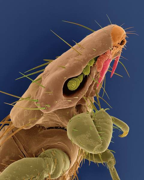 Wall Art - Photograph - Dog Chewing Louse by Dennis Kunkel Microscopy/science Photo Library