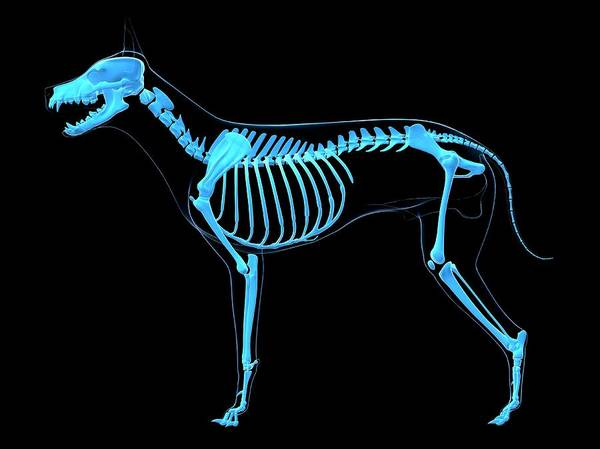 Wall Art - Photograph - Dog Skeleton by Sciepro/science Photo Library