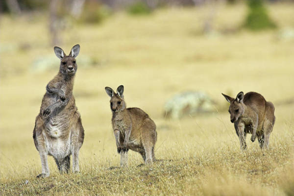 Antic Photograph - Eastern Grey Kangaroo Or Forester by Martin Zwick