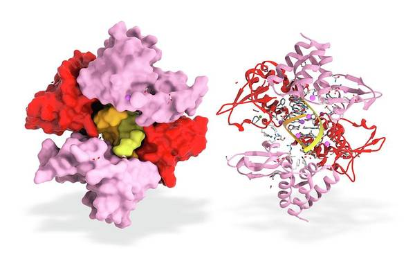 Ebola Photograph - Ebola Viral Protein 35 And Rna by Ramon Andrade 3dciencia